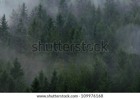 Fog moving among pine trees during chilly morning - stock photo