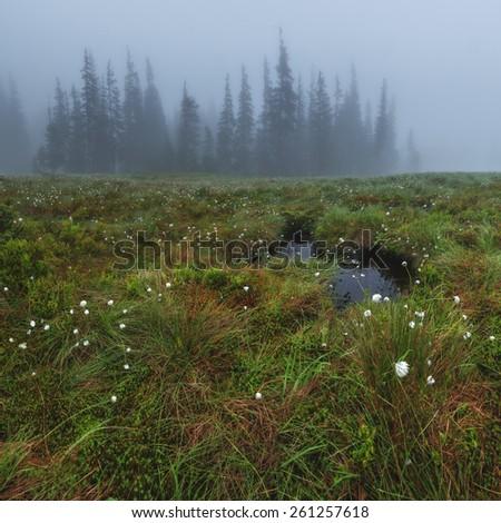 Foggy bog with small lake and white flowers. Dramatic scene. Svidovets ridge, Ukraine, Europe. - stock photo