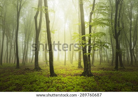 Foggy forest during a spring day
