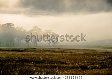Foggy Gloucester morning - eucalyptus trees in a field surrounded by fog as the sun rises
