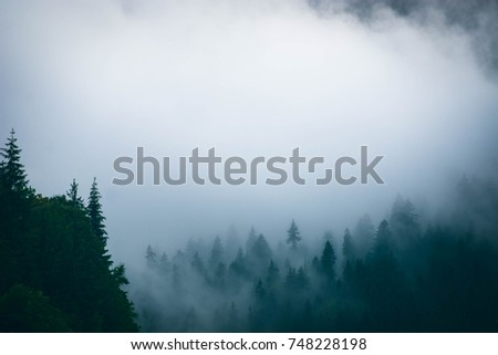 Foggy morning in the mountains. Pine trees in the mist