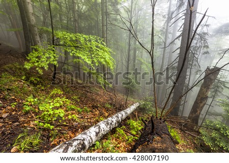 Foggy natural forest with fallen trees in Romanian Carpathian mountains - stock photo