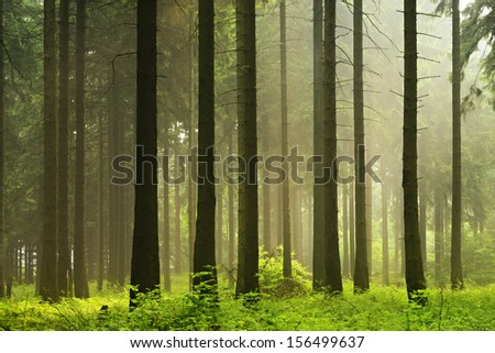 Foggy Spruce Tree Forest