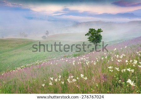 Foggy summer morning in the mountains. Lonely tree among a fields of flowers. - stock photo