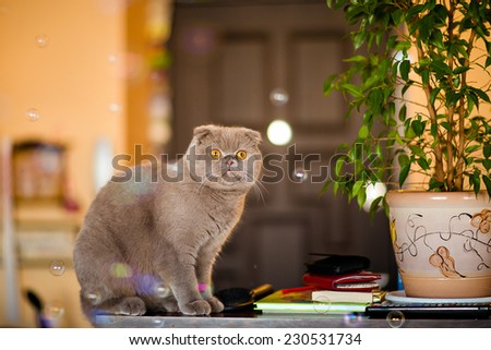 Fold grey cat with yellow eyes sitting in a pot with flower - stock photo
