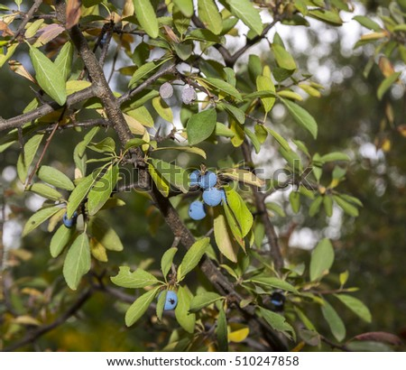 Foliage and fruits of Blackthorn, Prunus spinosa. Photo taken in Guadalajara Province, Spain.