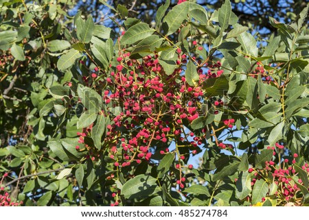 Foliage and fruits of Terebinth, Pistacia terebinthus. It is a species in the family Anacardiaceae native to the Mediterranean region. Photo taken in Ciudad Real Province, Spain