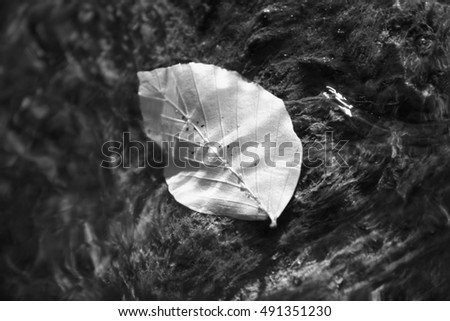 foliage in stream the autumn, black and white