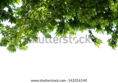 Foliage isolated on white - stock photo
