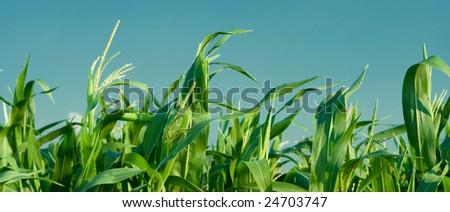 foliage of corn - stock photo