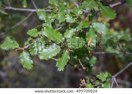 Foliage of Gall Oak, Quercus faginea. Photo taken in Guadalajara Province, Spain.