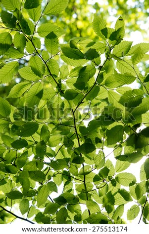 foliage of tree crowns in spring - stock photo