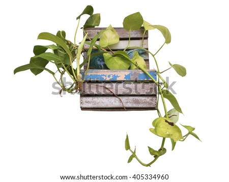 Foliage plant in wood flower pot isolated - stock photo