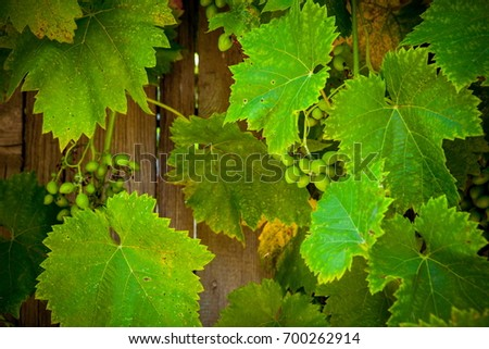 Foliage wild grapes on vintage wooden background with copy space