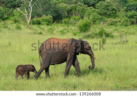 folowing mother,Chobe,Botswana - stock photo