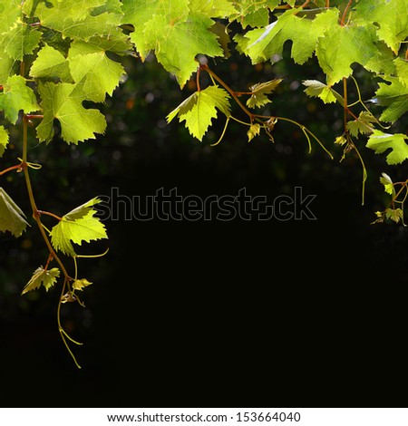 Food background - fruit grape leaves - stock photo
