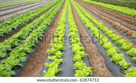 food crops of various vegtables being grown in a farmers field in Irvine California - stock photo
