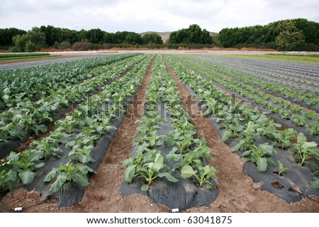 food crops of various vegtables being grown in rows on a farmers field in Irvine California