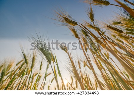 foodgolden wheat Barley  ready for harvest with blue sky and sun - stock photo