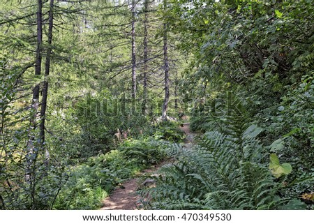 Footpath among the typical flora in Alpe Devero natural park in the Lepontine Alps, the province Verbano Cusio Ossola -Verbania-Piemonte-Italy