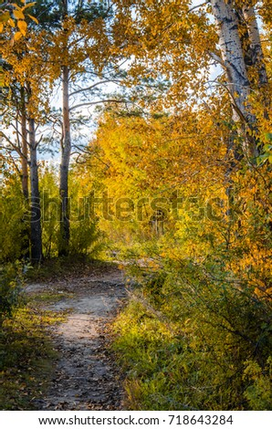 footpath autumn in the birch forest sunny day sunset dawn warmly joyful