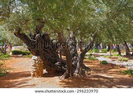 Footpath between old olives in the Garden of Gethsemane. Place of prayer of Jesus before arrest - stock photo
