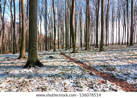 footpath in a snowy spring beech forest - stock photo