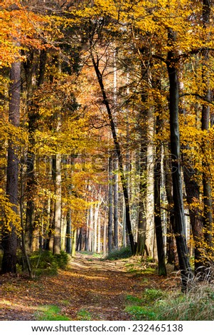 footpath in autumn beech forest - stock photo