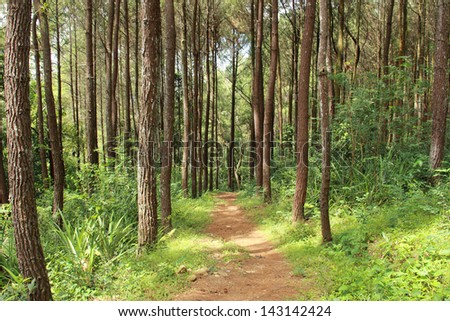footpath in nature landscape of a beautiful Pine forest - stock photo