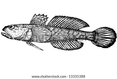 For that what to draw and describe the given figure it would be necessary to read through and see many magazines and books Illustration Distinctive feature of a fish are belly fins which are connected