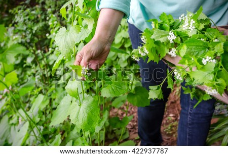 foraging for wild food. A woman picking the invasive species garlic mustard, Alliaria petiolata herb.