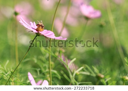 Foraging Honey Bee on cosmos flower