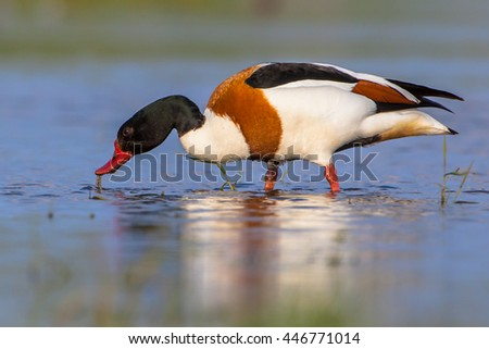 Foraging male Common shelduck (Tadorna tadorna). It is a waterfowl species and widespread in Europe and Asia. - stock photo