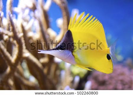 Forcipiger flavissimus Yellow Longnose Butterflyfish - stock photo