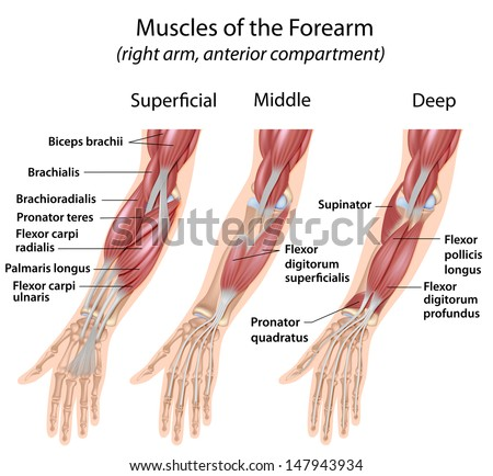 arm muscle anatomy stock images, royalty-free images & vectors, Human Body