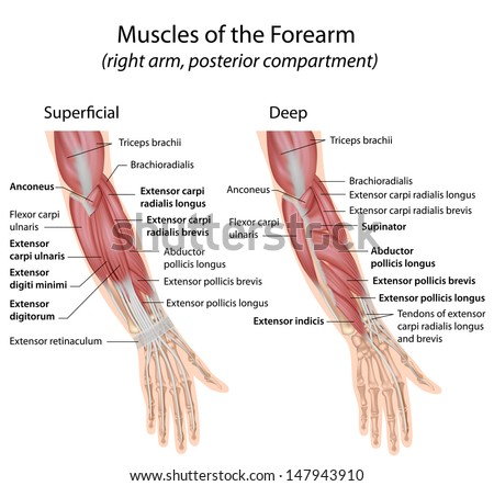 Forearm muscles dorsal compartment, labeled  - stock photo