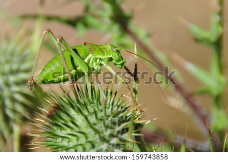 foreground of green cricket on a thistle plant - stock photo