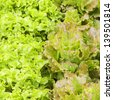Foreground of lettuces variety / lettuces variety - stock photo