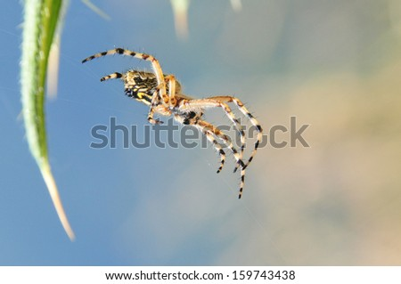 foreground of tiger on her web spider    - stock photo