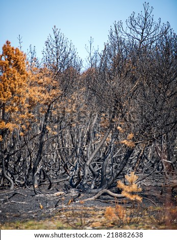 Forest after fire with burned pine trees in Curonian Spit National Park, Neringa, Nida, Lithuania. There was a strong fire in Curonian Spit on April 25, 2014.  - stock photo