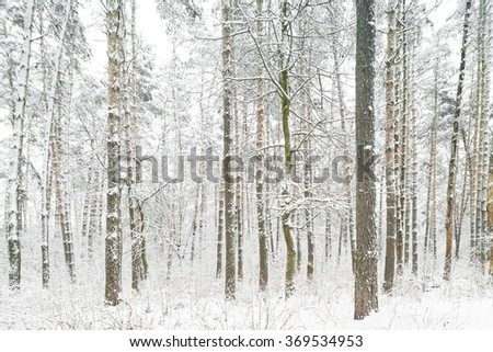 Forest after snowfall. Forest consists of conifers and deciduous trees.