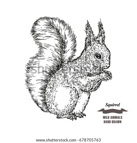Squirrel Sketch Stock Images Royalty Free Images
