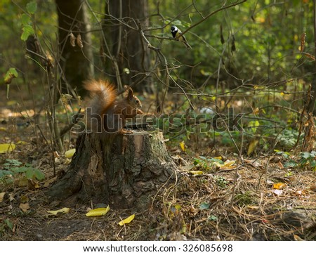 Forest animals: Squirrel and bird (Chickadee). Squirrel Eating nut on an Autumn Forest. Close-up - stock photo