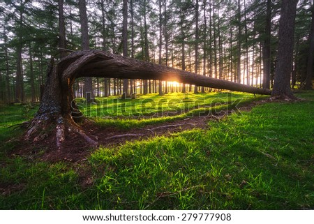 forest at sunset with fallen trunk and sun rays - stock photo