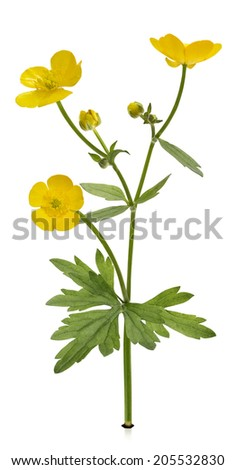 Forest buttercup with leaves