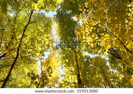 forest canopy of maple and other deciduous trees backlit with golden hues of  autumn season - stock photo