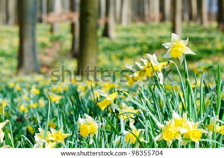 Forest covered with a daffodils carpet. Shallow DOF - stock photo