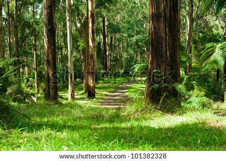 Forest, Dandenong Ranges National Park, Yarra Valley, near Melbourne Australia - stock photo