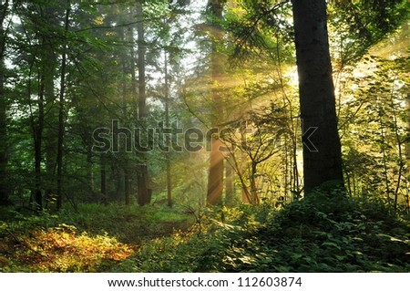 Forest dawn - stock photo