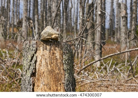 Forest dieback by bark beetle infestations in the high forest of mountain on the border of Germany with the Czech Republic, Bavarian Forest - Sumava National Park, Germany - Czech Republic